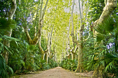 Dirt Road Between a Row Of Plane Trees photo