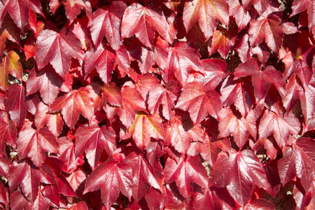 Wall Of Leaves Of Virginia Creeper In Autumn photo