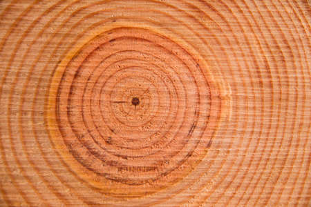 perpendicular: Particolari degli anelli perpendicolari al tronco di un pino