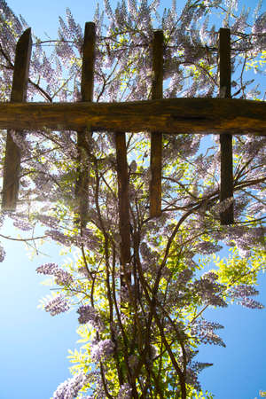 abundant: Abundant flowering wisteria in spring over a wooden support Stock Photo