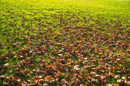 dry leaves: Dry leaves on a lawn in late fall season