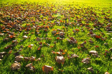 hojas secas: Las hojas secas en un césped en la temporada a finales del otoño