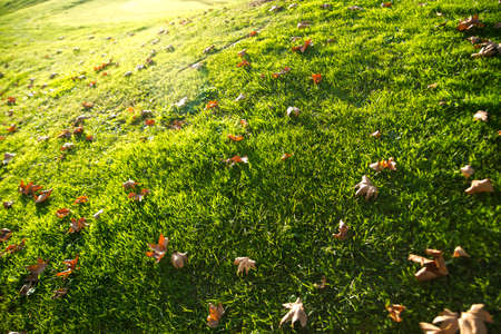 hojas secas: Dry leaves on a lawn in late fall season