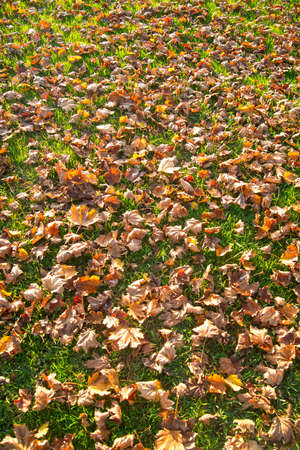 late fall: Dry leaves on a lawn in late fall season