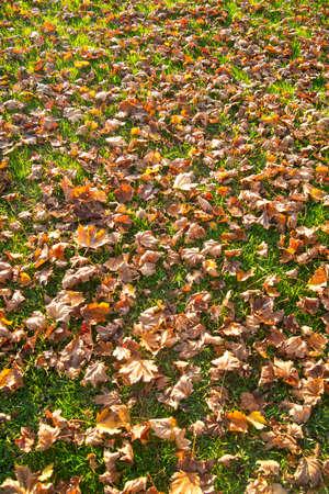 hojas secas: Las hojas secas en un c�sped en la temporada a finales del oto�o