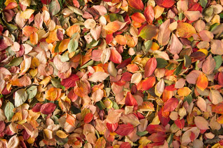 persimmon tree: Carpet of leaves of various colors typical of the tree of persimmon Stock Photo