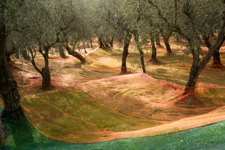 late fall: He extended networks for the Olive harvest in late fall Stock Photo