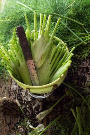 finocchio: Pulire e finocchio appena raccolte dal giardino