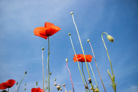 Low angle view of a group of poppies projected in um blue sky