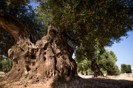 census: The ancient olive trees of the Puglia Italy region Stock Photo