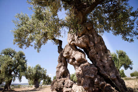 The ancient olive trees of the Puglia Italy region Stock fotó