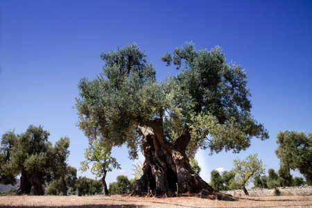 The ancient olive trees of the Puglia Italy region Фото со стока