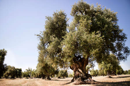 The ancient olive trees of the Puglia Italy region 版權商用圖片