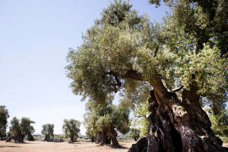 The ancient olive trees of the Puglia Italy region Stock Photo