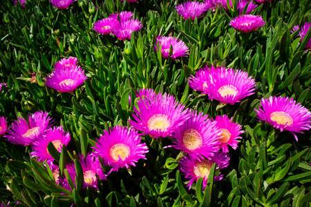 The luxuriant flowering in the spring season of the Carpobrotus edulis