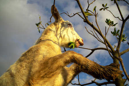 Photographic shot of the moment that a goat goes in search of food Standard-Bild