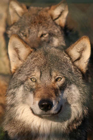 european gray wolf,pack member in the background photo