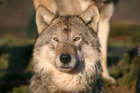 portrait of an european gray wolf photo