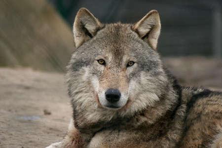male wolf photo
