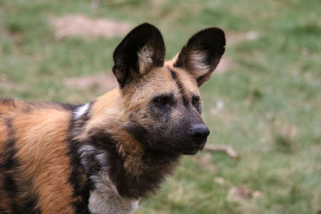 portrait of an african wilddog photo