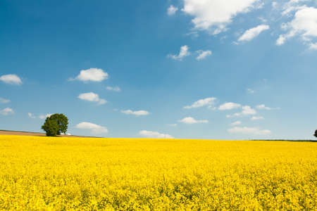 canola plant in summer