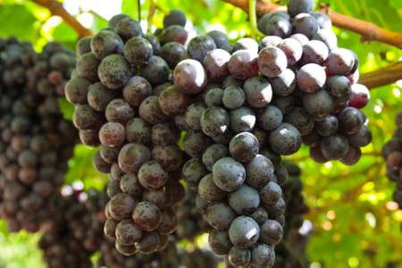 wine-growing