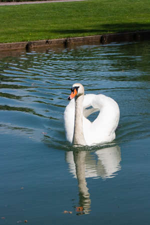 swan on a lake Stock Photo - 13734872