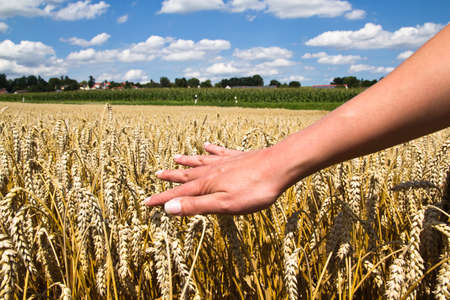 Hand strokes over cornfield Standard-Bild