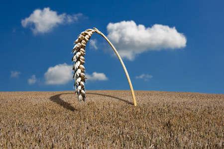 Grain field with oversized grain