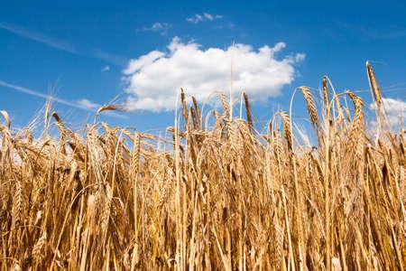 Grain field in the summer Stock Photo