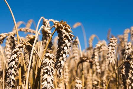 Grain field in the summer Standard-Bild