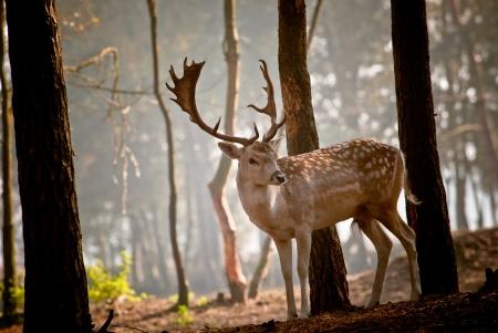 Deer in the morningsun