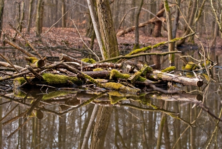 Spring landscape of old forest and broken moss wrapped trees lying in water photo