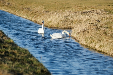 Swans on a river