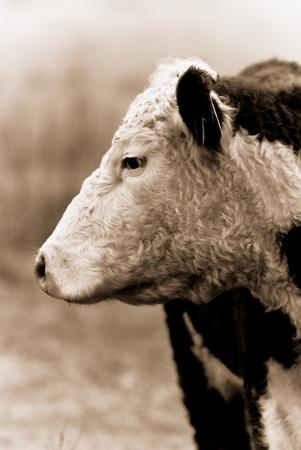 Posing cows photo