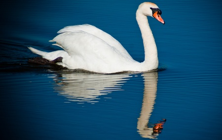 white swan swimming in the water photo