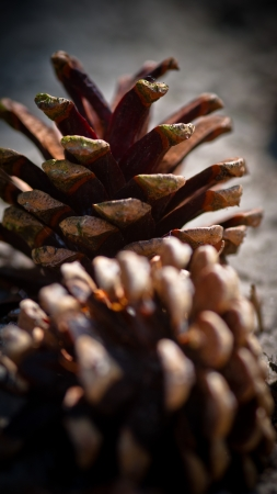 close up of a pair of pine cones photo