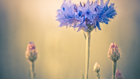 Cornflowers Flowers , also called Bachelor's button, Bluebottle, Boutonniere flower, Hurtsickle or Cyani flower on a field in summer. Stock Photo - 16275465