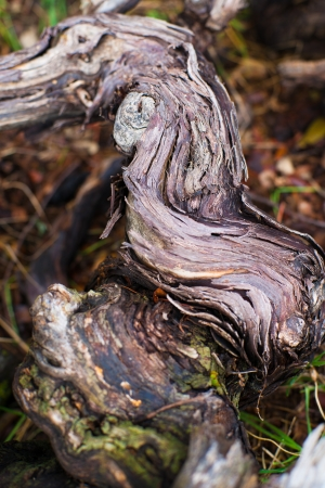 details of Vine Branches, prunings