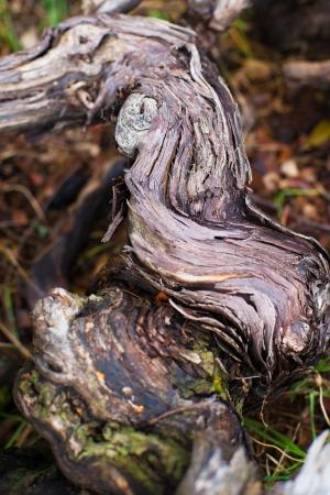 details van wijnranken, snoeihout Stockfoto