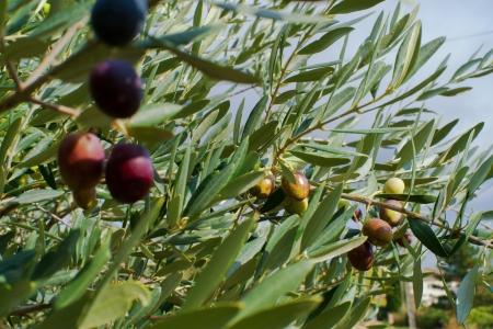 olive trees 写真素材