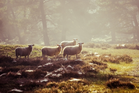 sheep in the early morning light on the Dutch heath