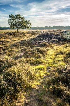 Single Horned Sheep on a Duth heath and marsh landscape Dwingelderveld, Netherlands