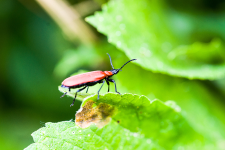 Macro female Cardinal beetle  Pyrochroa coccinea  on leave photo