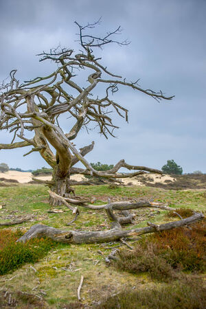 Dead tree in a Dutch  Mooreland photo