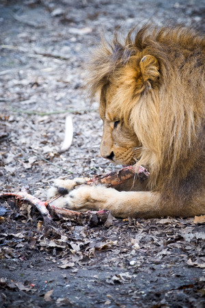 Lion dines with a large piece of meat Stock Photo - 26615430