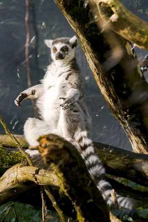 threatened: looks out with big, bright range eyes and watches from a branch in a zoo. This is a large and endangered (near threatened) lemur species.
