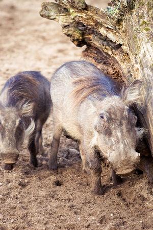 bush hog: Family Warthog at the zoo Stock Photo