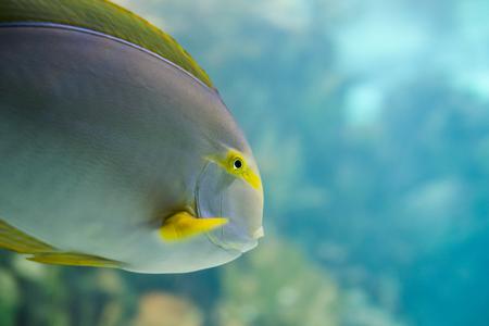 flavescens: Colorful Tropical Hawaiian Pacific Fish in Aquarium Exhibit Stock Photo