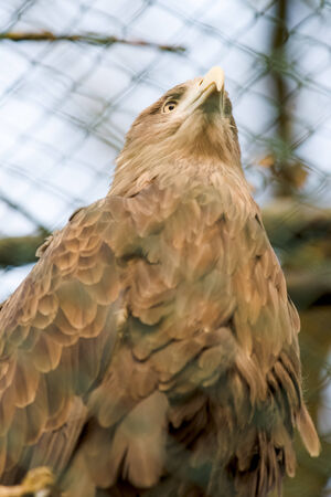Beautiful white tailed eagle standing on the stamp in a cage at the zoo. Stock Photo - 26615947